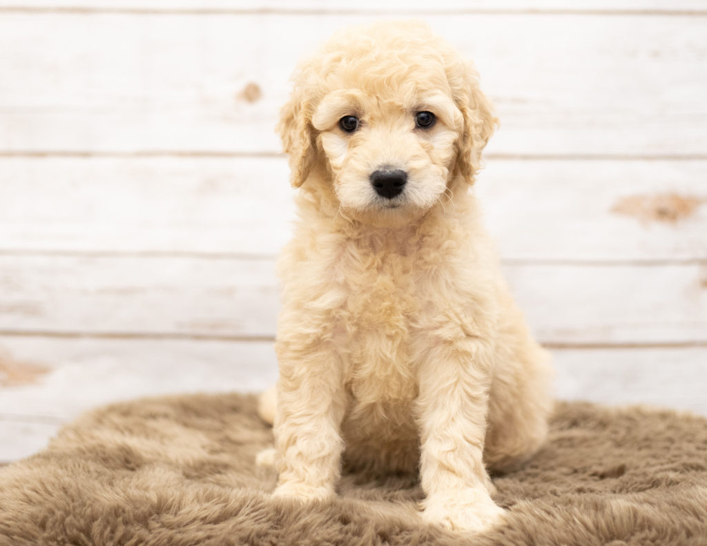 A picture of a Ola, one of our Mini Goldendoodles puppies that went to their home in Nebraska