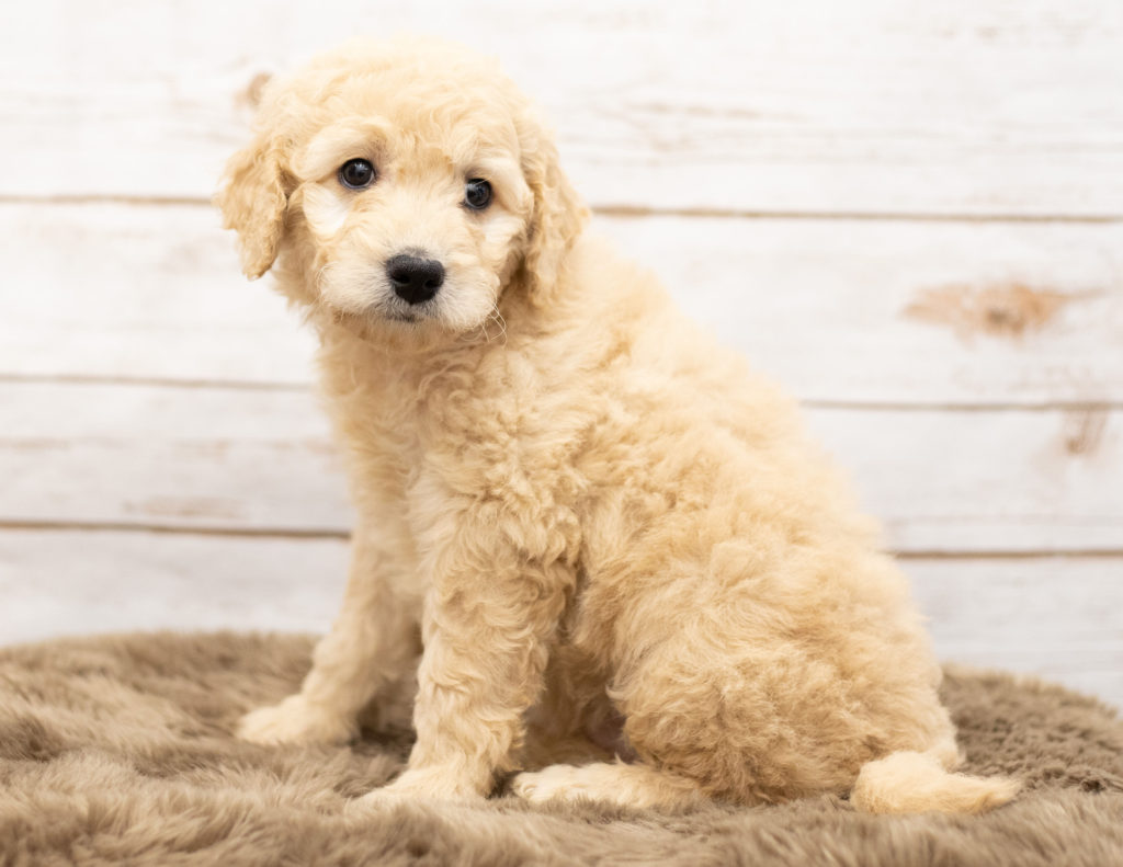 Ola came from Sassy and Houston's litter of Multigen Goldendoodles