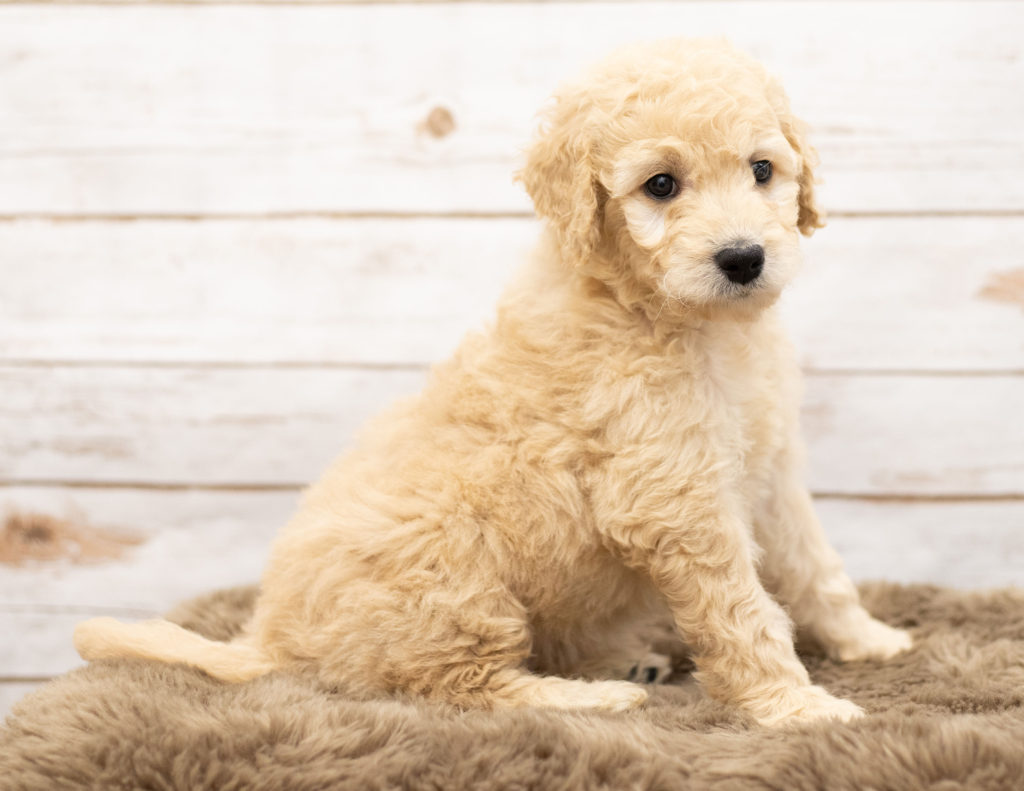 Ola is an Multigen Goldendoodle that should have  and is currently living in Nebraska