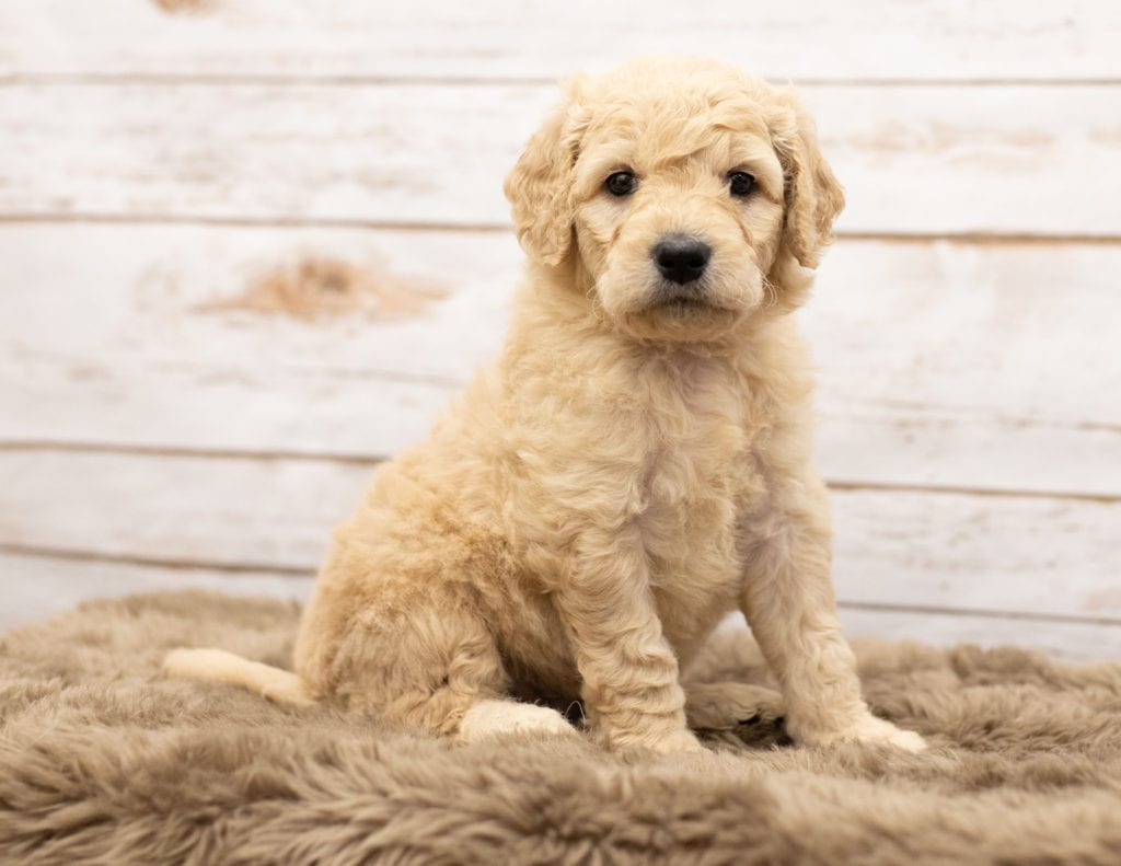 Mini Goldendoodles with hypoallergenic fur due to the Poodle in their genes. These Goldendoodles are of the Multigen generation. For more info on generations, view our specific breed page for Goldendoodles.