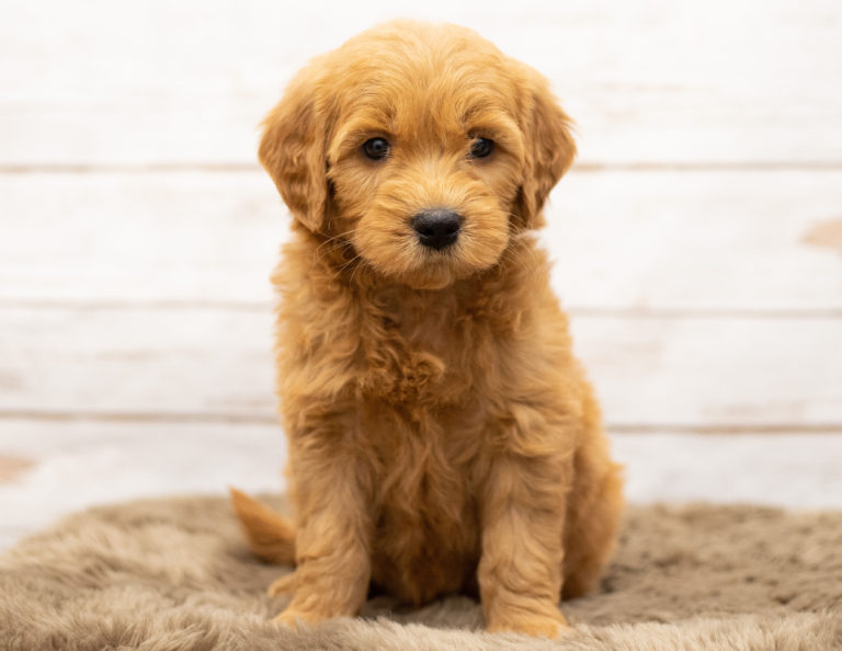 A beautiful picture of one of our mini Goldendoodle puppies with a wood in the background