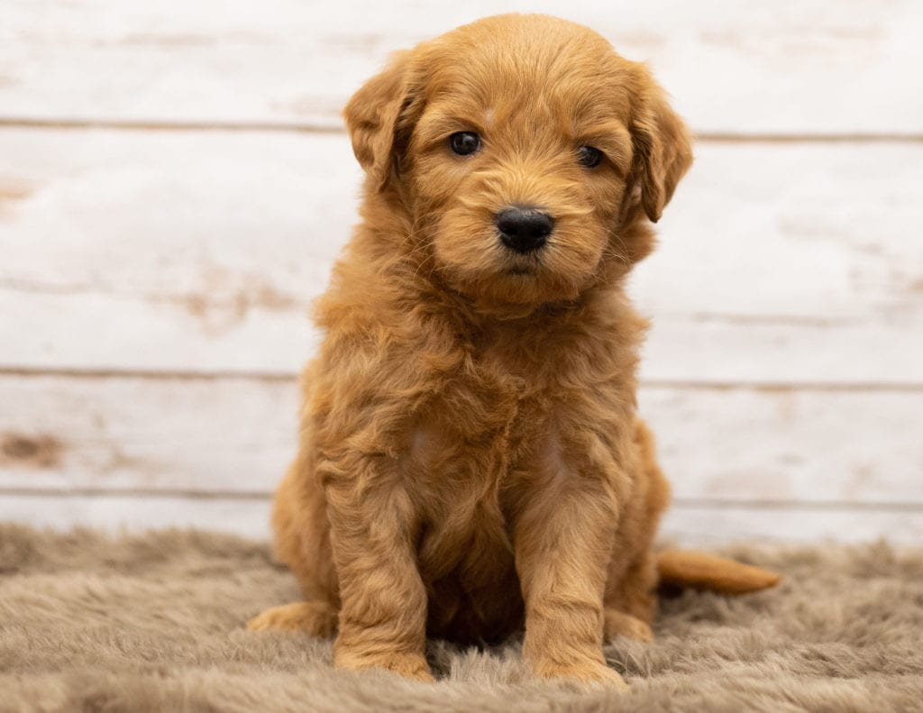 "Want to learn more about Goldendoodles? Check out our blog post titled ""The New Dog Breed Everyone Seems to Want"""