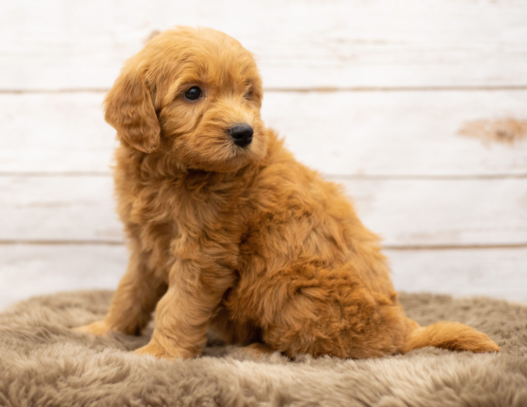 Olaf is an Multigen Goldendoodle that should have  and is currently living in Kansas