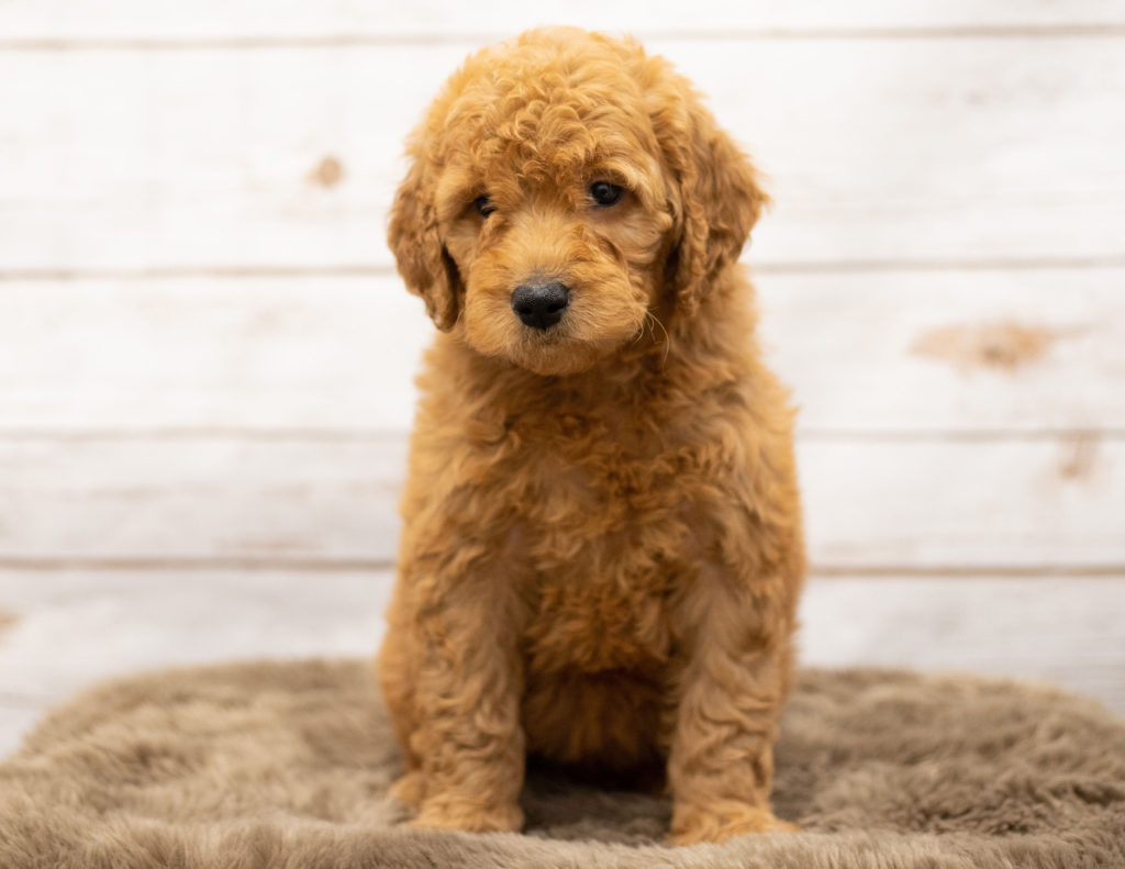 A picture of a Olena, one of our Mini Goldendoodles puppies that went to their home in Iowa