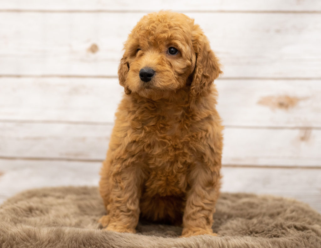 Another great picture of Olena, a Goldendoodles puppy