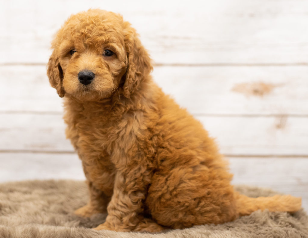 Olena is an Multigen Goldendoodle that should have  and is currently living in Iowa