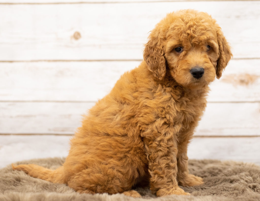 Olena came from Sassy and Houston's litter of Multigen Goldendoodles