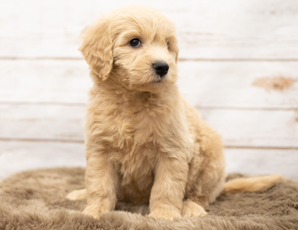 Olga is an Multigen Goldendoodle that should have  and is currently living in New York