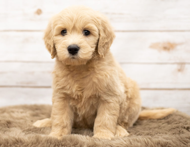 Mini Goldendoodle Puppies For Sale Poodles 2 Doodles
