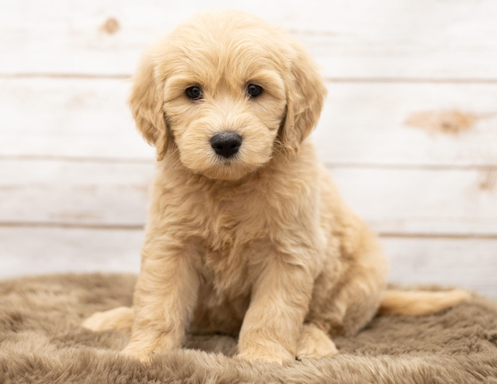 Olga came from Sassy and Houston's litter of Multigen Goldendoodles