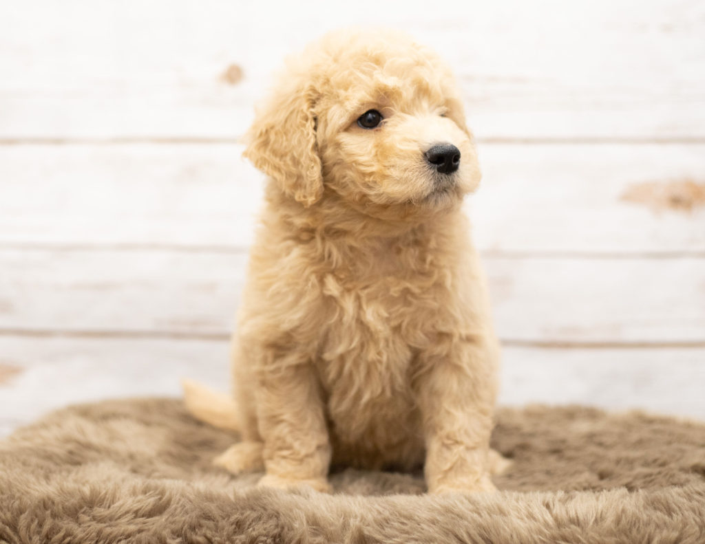 Omer came from Sassy and Houston's litter of Multigen Goldendoodles
