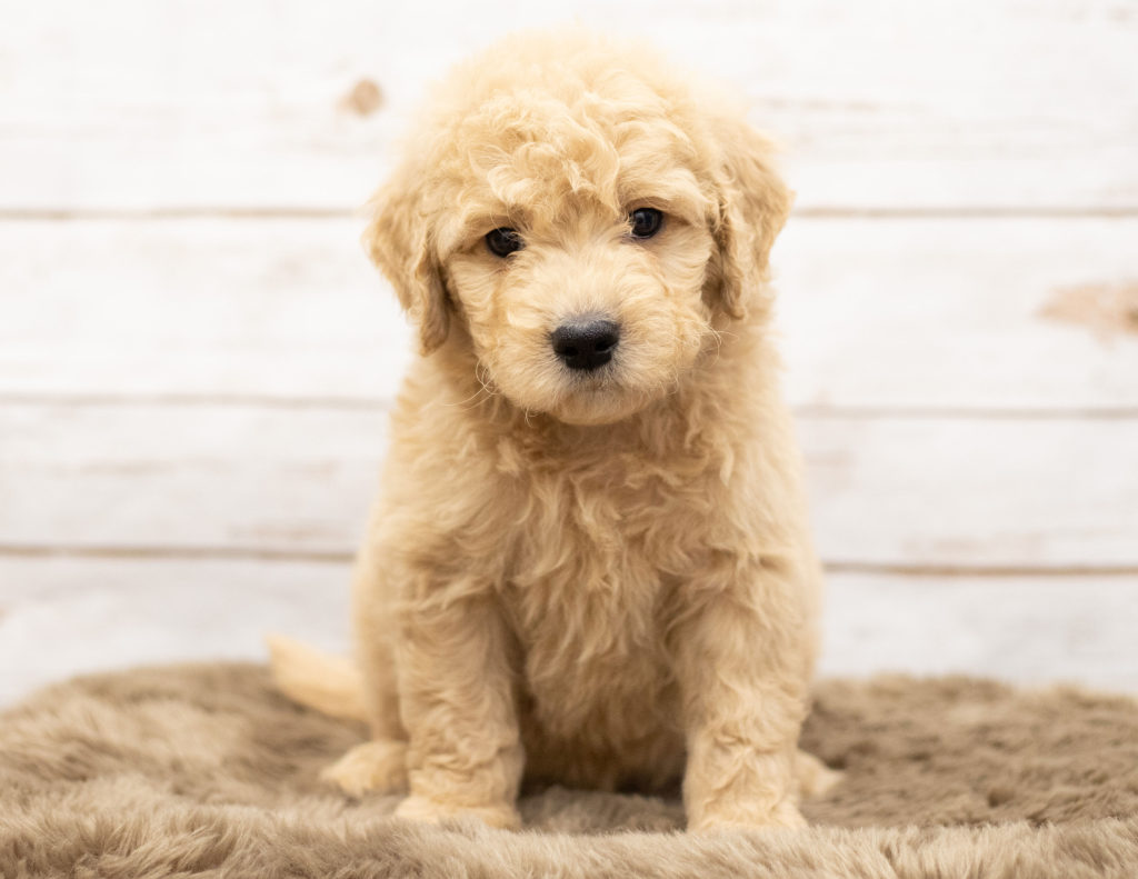 A picture of a Omer, one of our Mini Goldendoodles puppies that went to their home in Wyoming