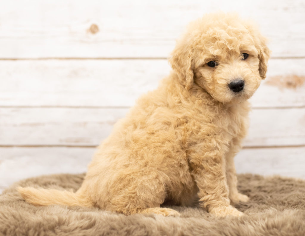 Omer is an Multigen Goldendoodle that should have  and is currently living in Wyoming