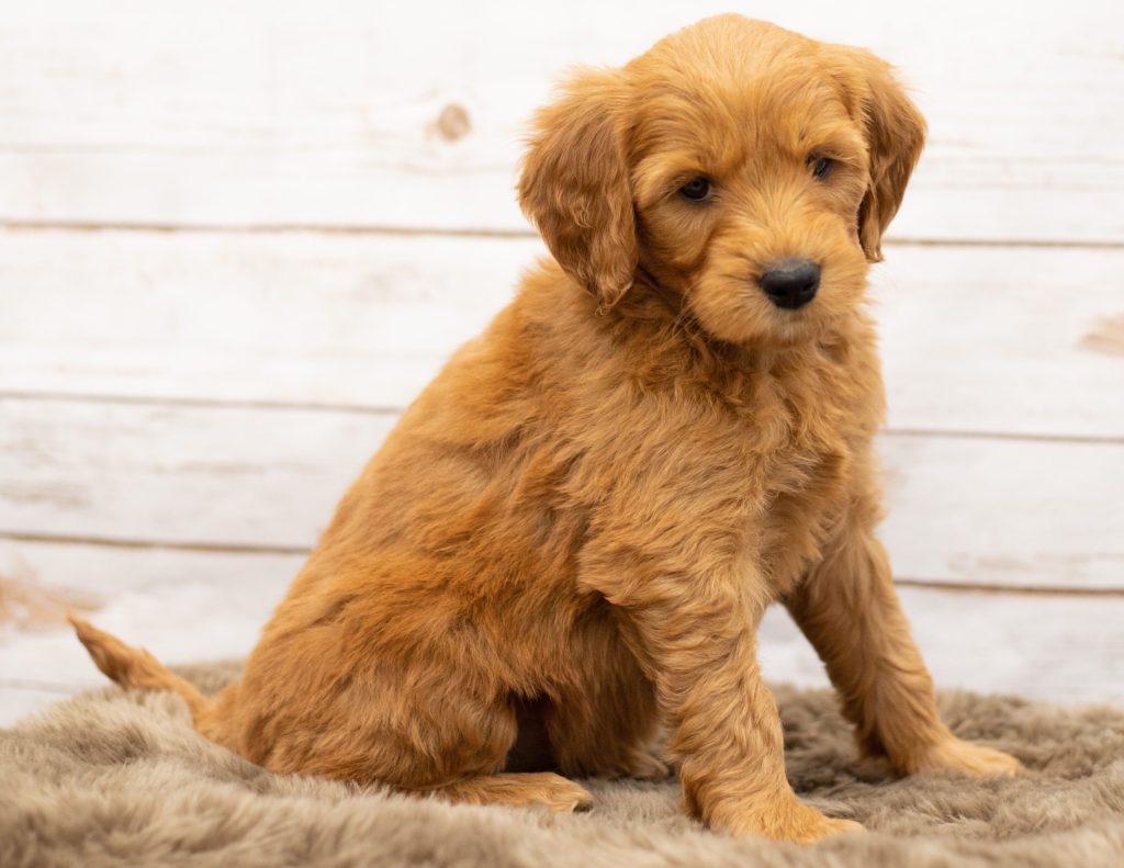 Orga is an Multigen Goldendoodle that should have  and is currently living in Iowa