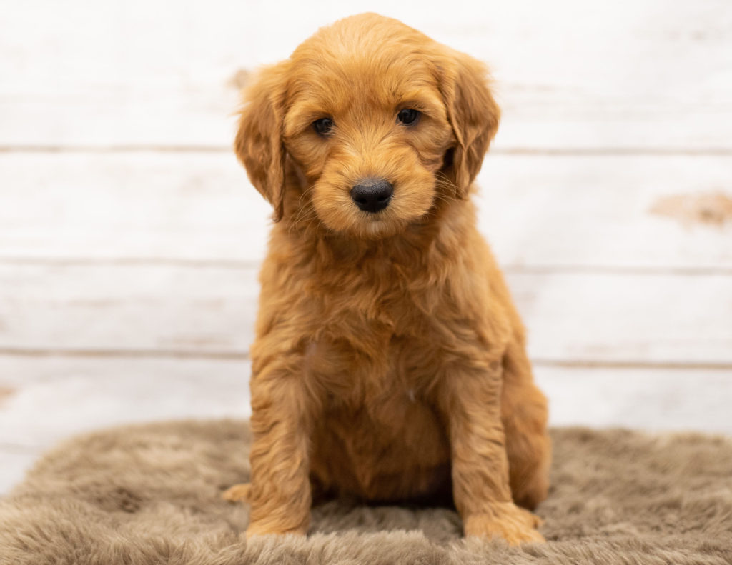 A picture of a Orga, one of our Mini Goldendoodles puppies that went to their home in Iowa
