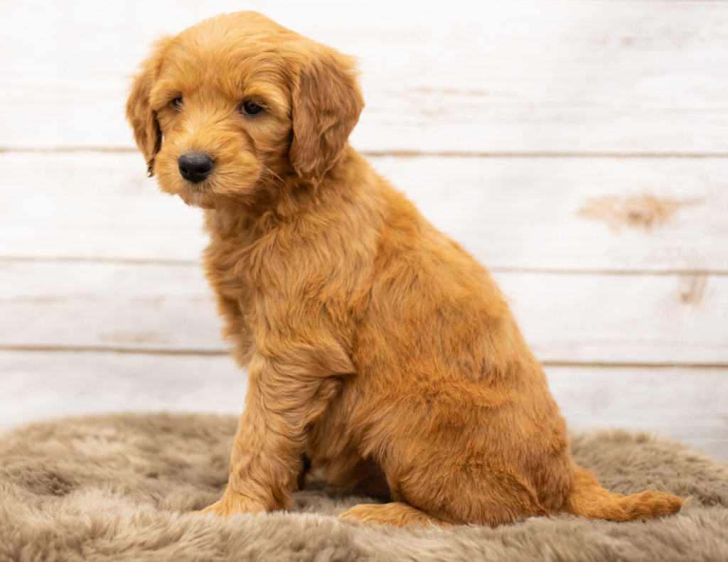 Orga came from Sassy and Houston's litter of Multigen Goldendoodles
