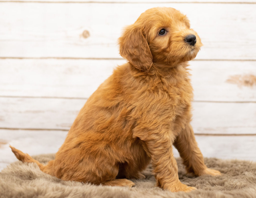 Another great picture of Orga, a Goldendoodles puppy