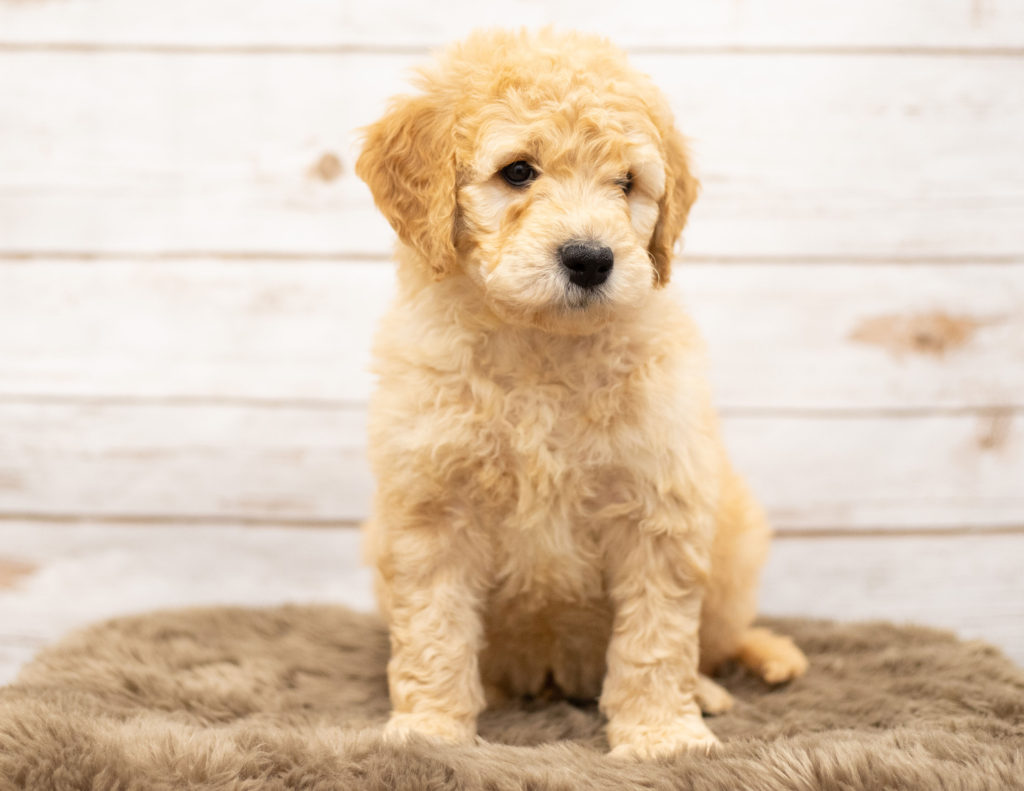 A picture of a Otis, one of our Mini Goldendoodles puppies that went to their home in Minnesota