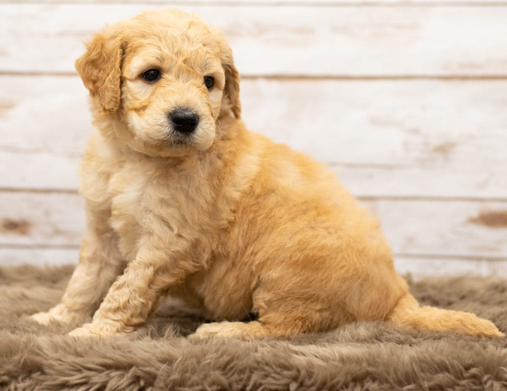 These Goldendoodles were bred by Poodles 2 Doodles, their mother is Sassy and their father is Houston