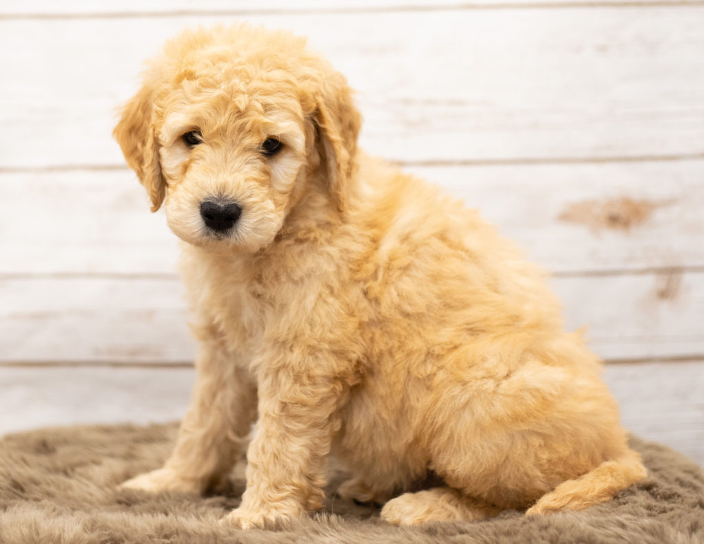 Otis is an Multigen Goldendoodle that should have  and is currently living in Minnesota