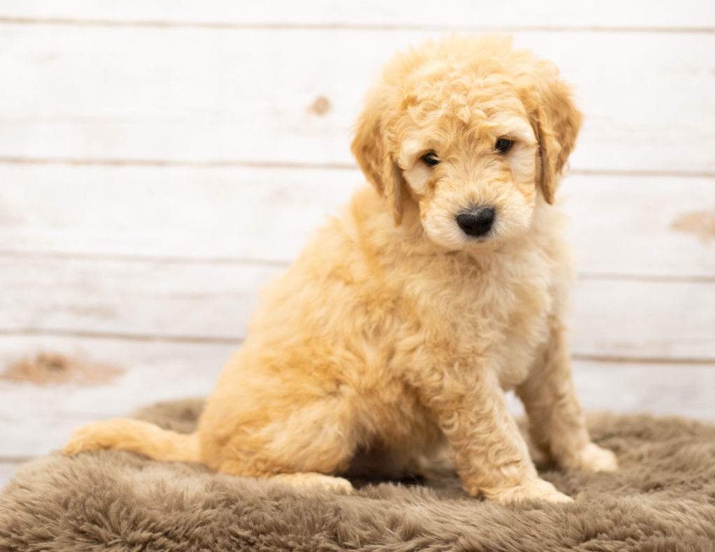 Otis came from Sassy and Houston's litter of Multigen Goldendoodles
