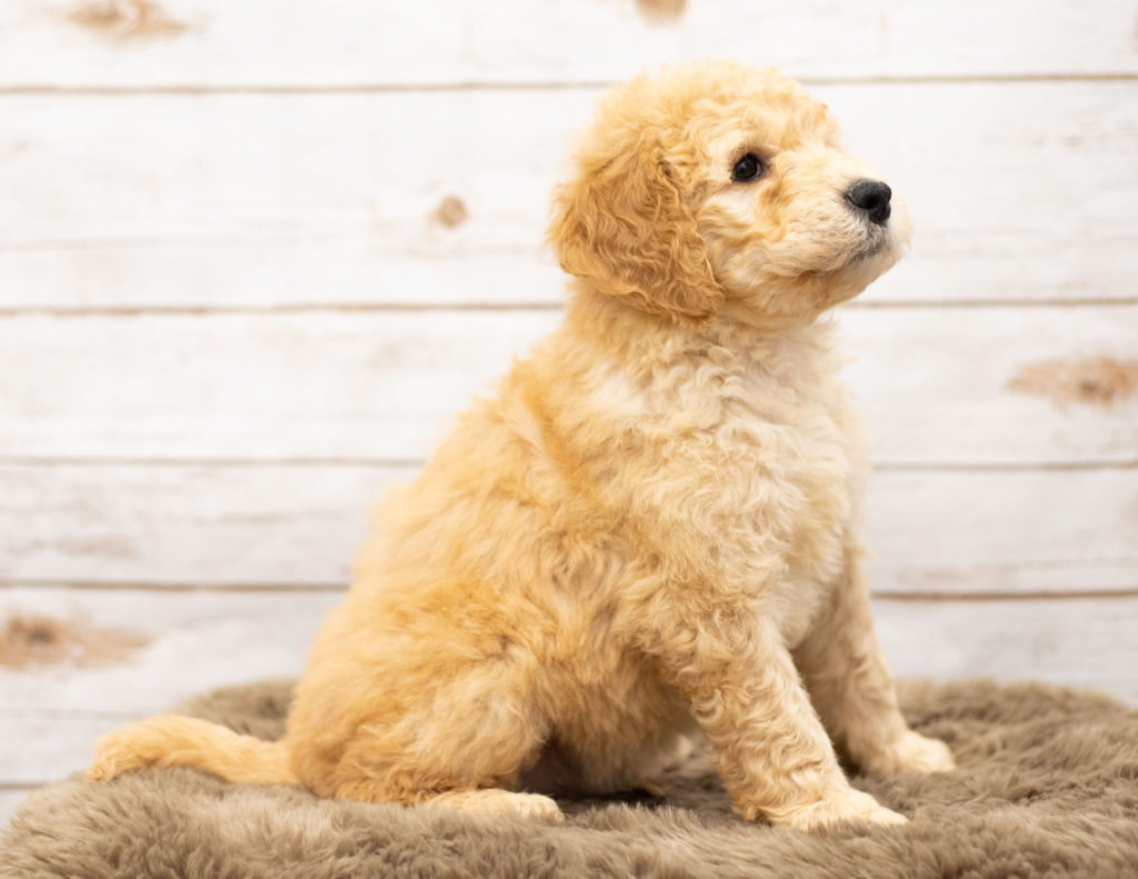 Another great picture of Otis, a Goldendoodles puppy