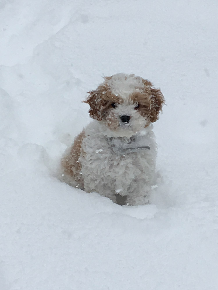 Cavapoo puppy out in the snow