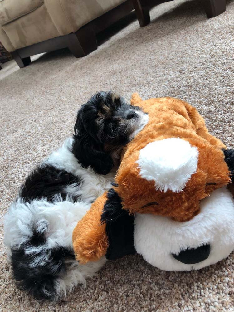 Adorable cavapoo puppy asleep on teddy bear