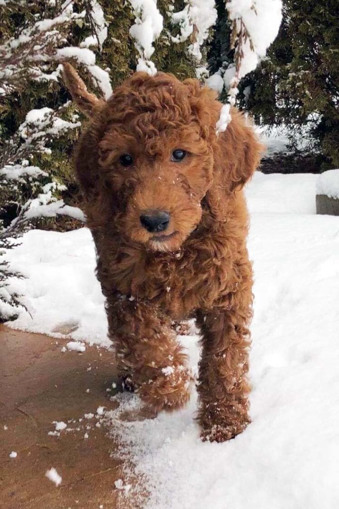 One of our Irish Doodle puppies in the snow for the first time!