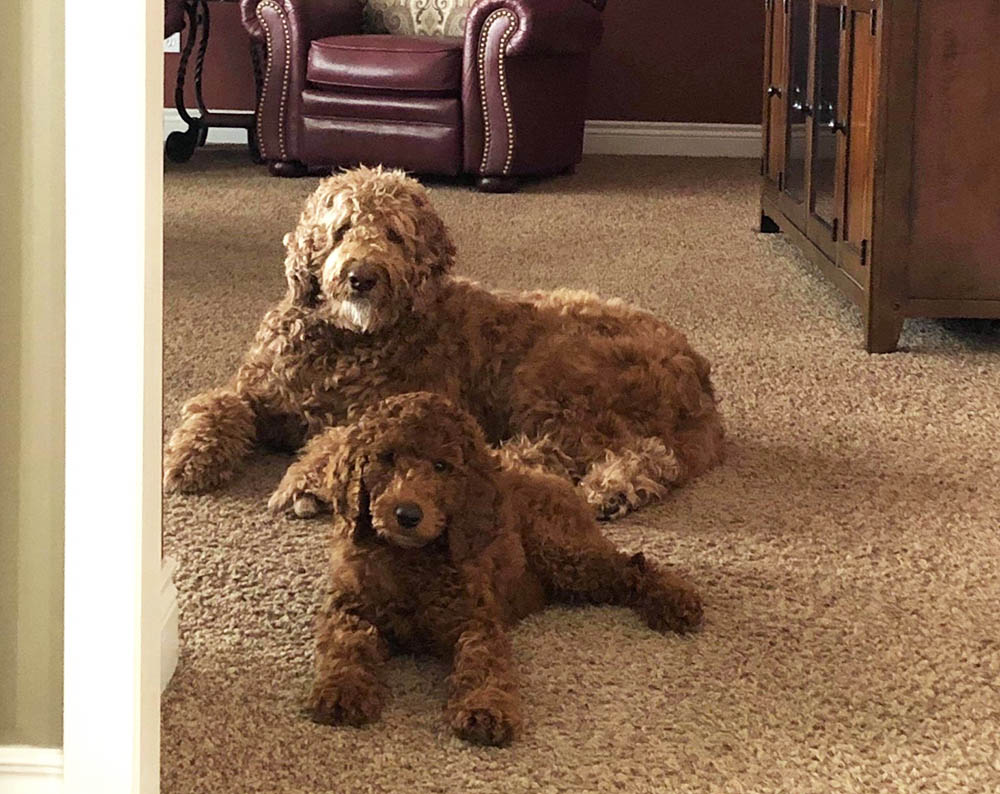 One of our Irish Doodle puppies laying with their older sibling