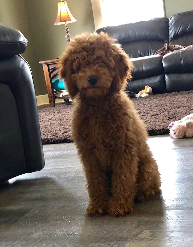 One of our Irish Doodle pups, all poofy!
