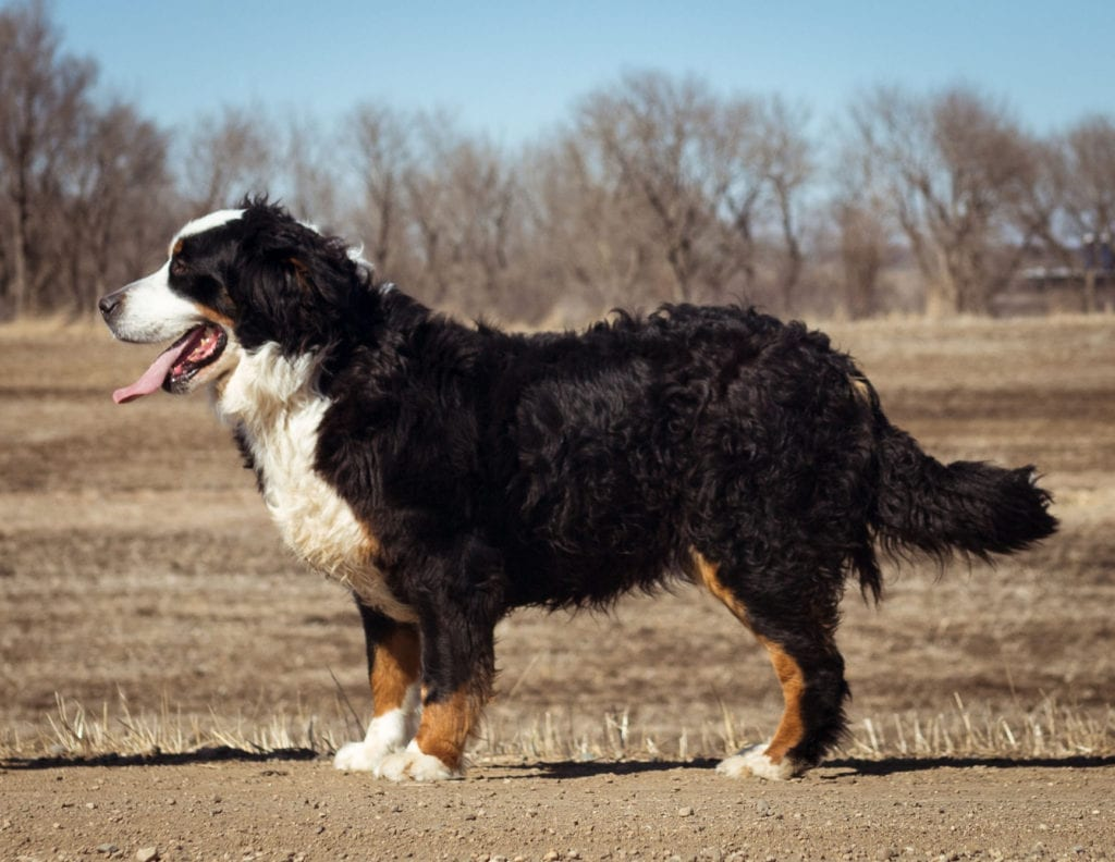 A picture of one of our Bernese Mountain Dog mother's, Percy.