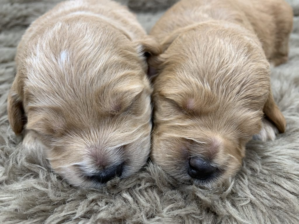 Try These F1 Mini Goldendoodle Puppies For Sale In Iowa {Mahindra