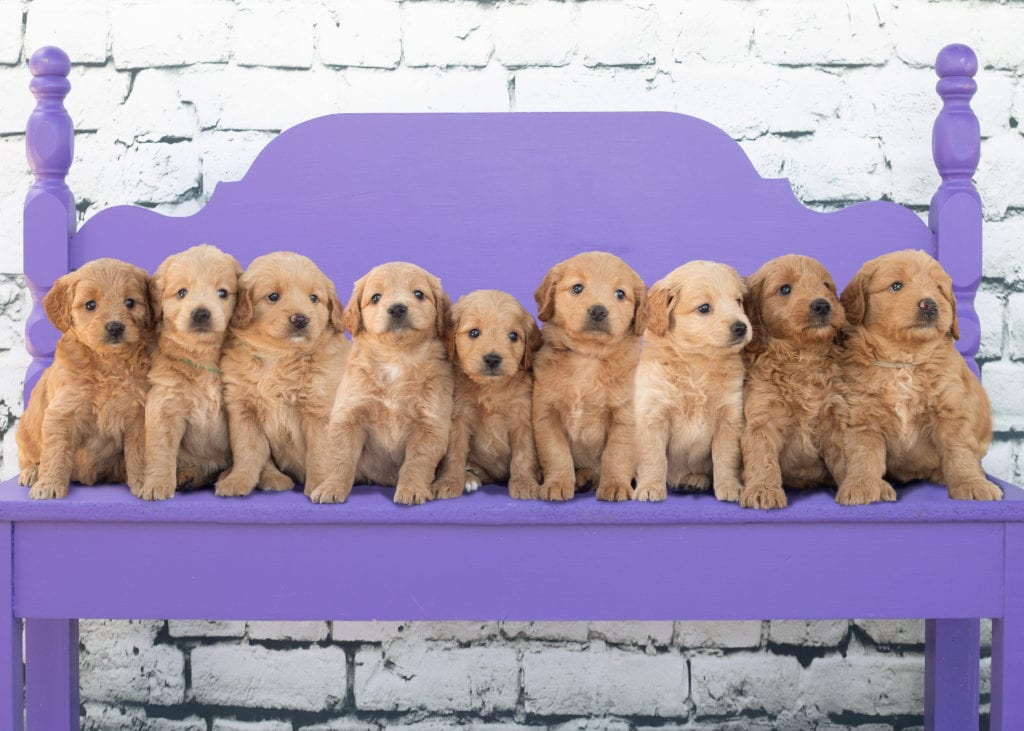 Goldendoodle Puppies Available Now | Mini Goldendoodles from