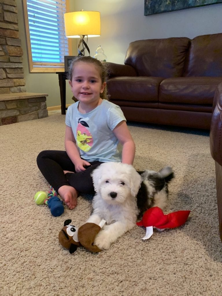 Adorable Standard Sheepadoodle hanging out with his new sister in Missouri