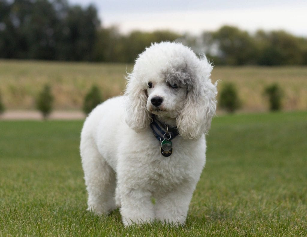 A picture of one of our Poodle father's, Grimm.
