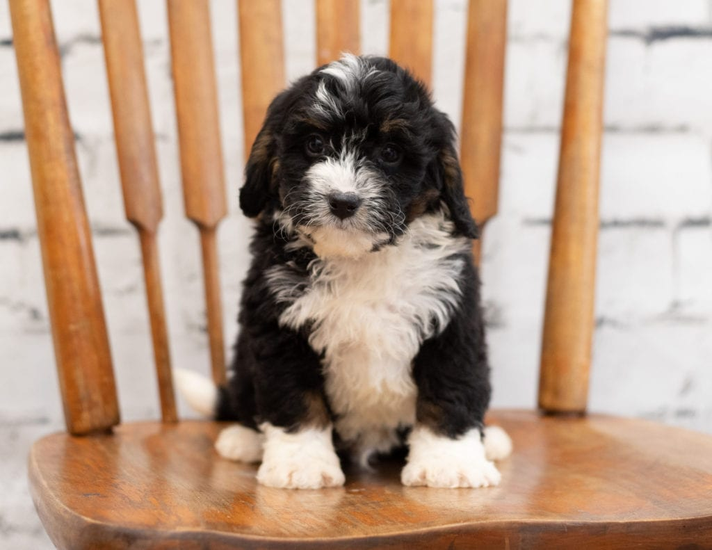 Paco is an F1 Bernedoodle that should have  and is currently living in Illinois