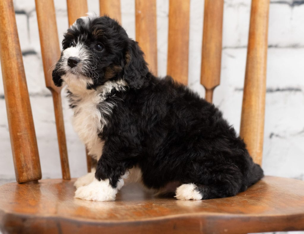 Paco came from Tori and Paco's litter of F1 Bernedoodles