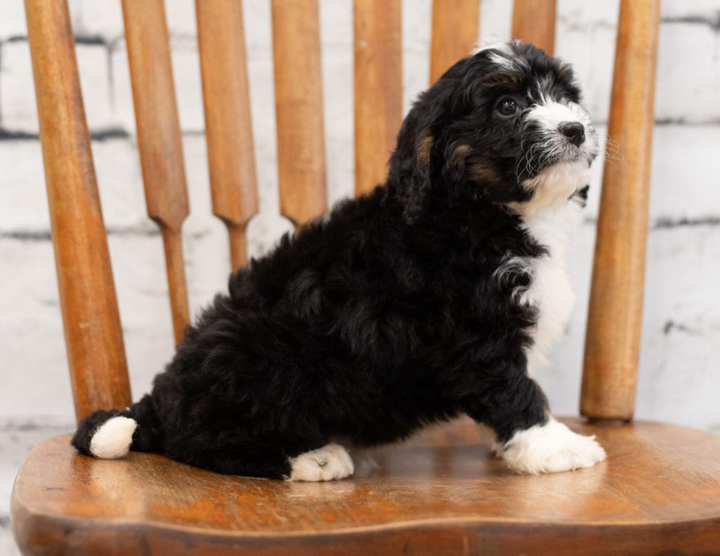 A picture of a Paco, one of our Mini Bernedoodles puppies that went to their home in Illinois