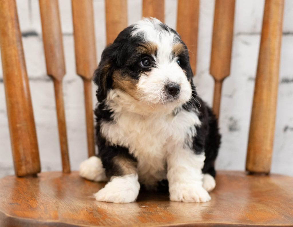 Pal is an F1 Bernedoodle.