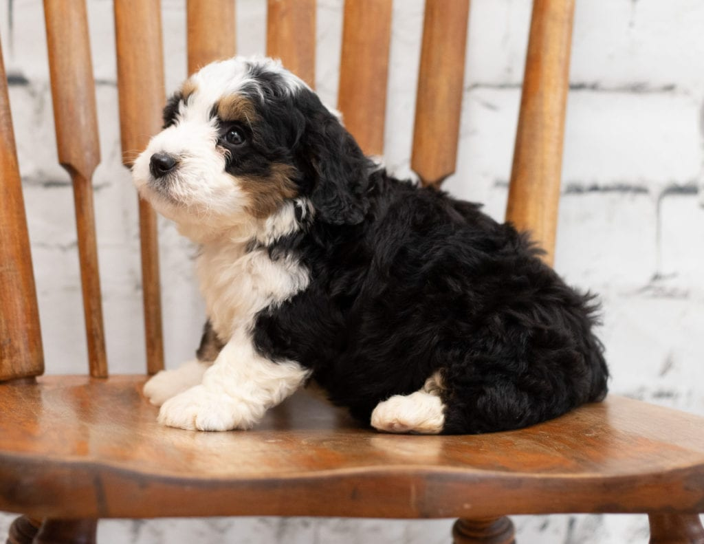 Pal came from Tori and Pal's litter of F1 Bernedoodles
