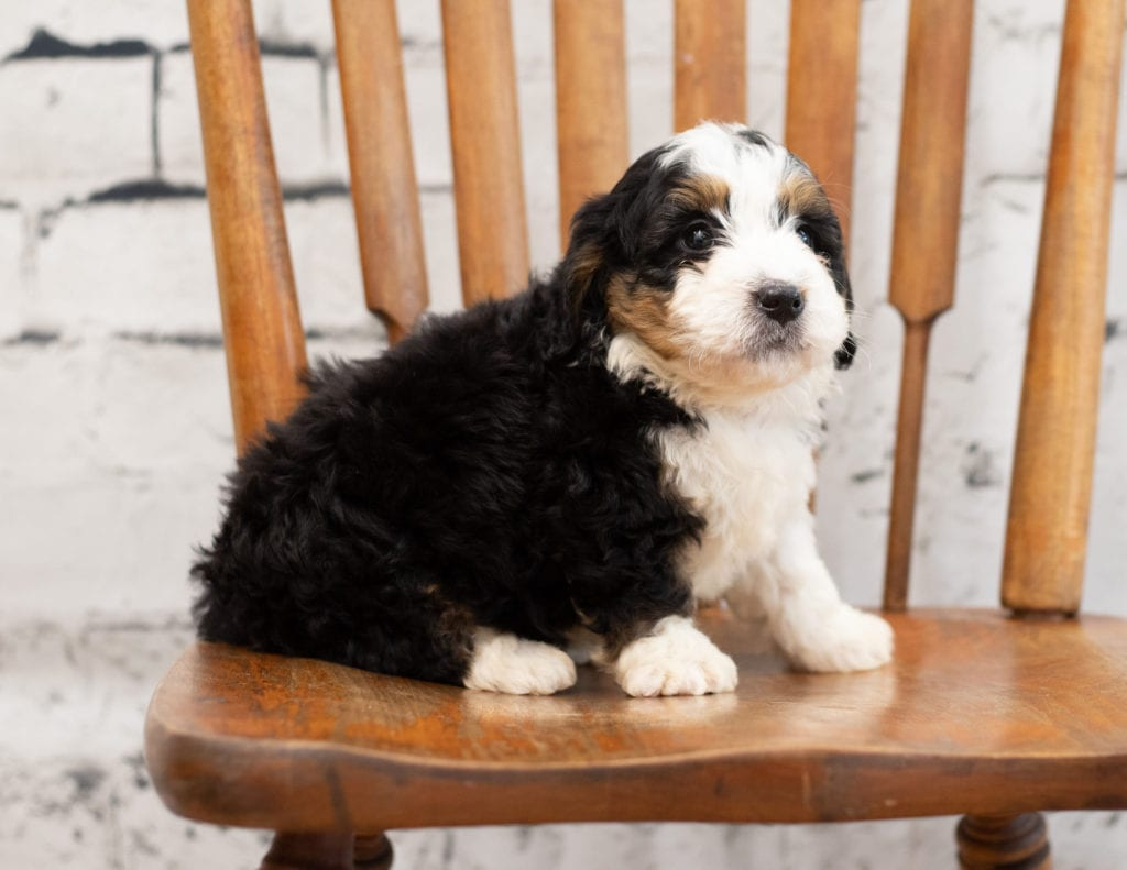 A picture of a Pal, one of our Mini Bernedoodles for sale
