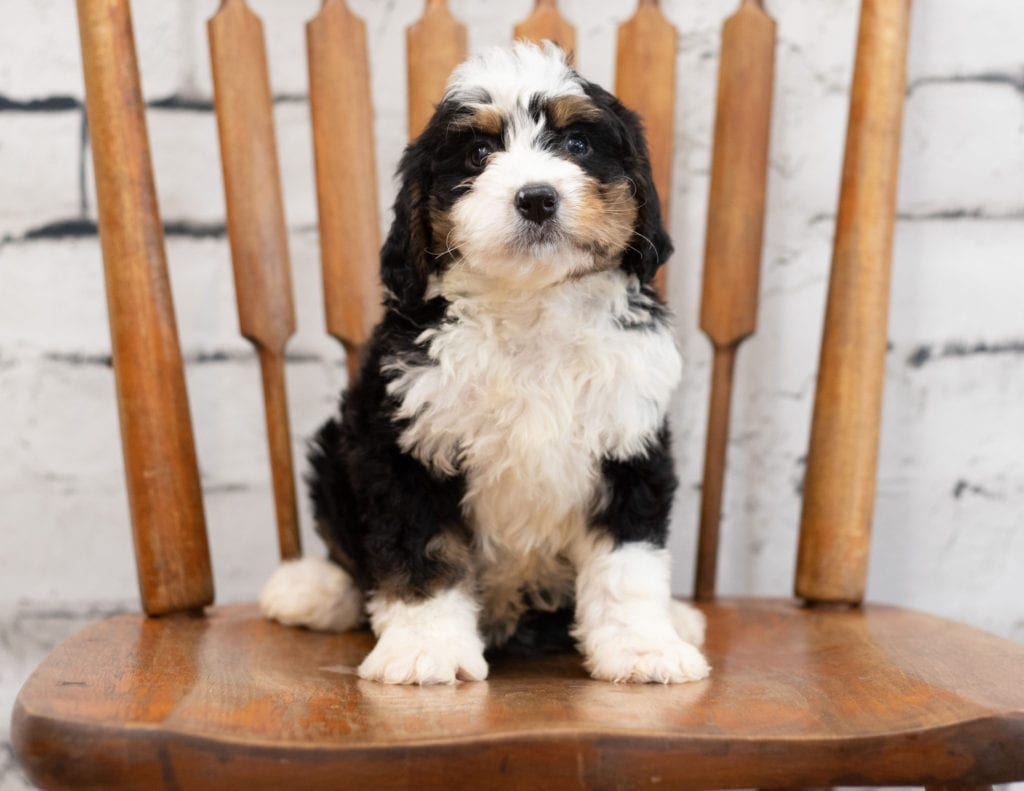 A picture of a Palla, one of our Mini Bernedoodles for sale