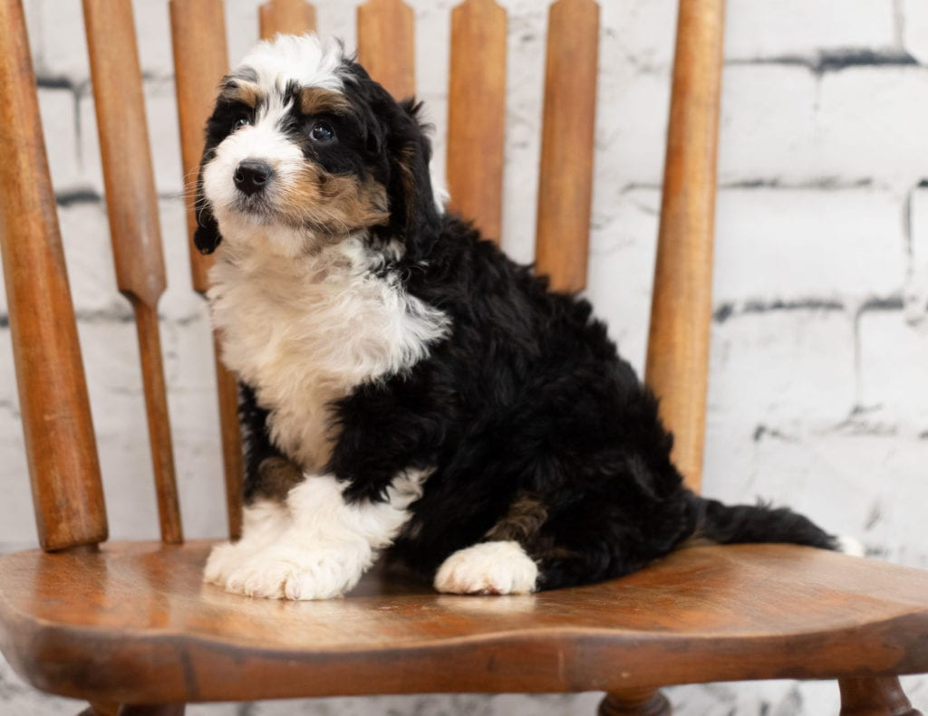 Palla came from Tori and Palla's litter of F1 Bernedoodles