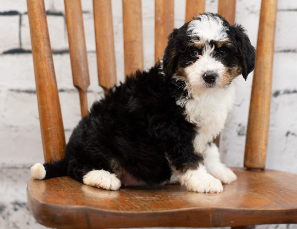Another great picture of Palla, a Bernedoodles puppy