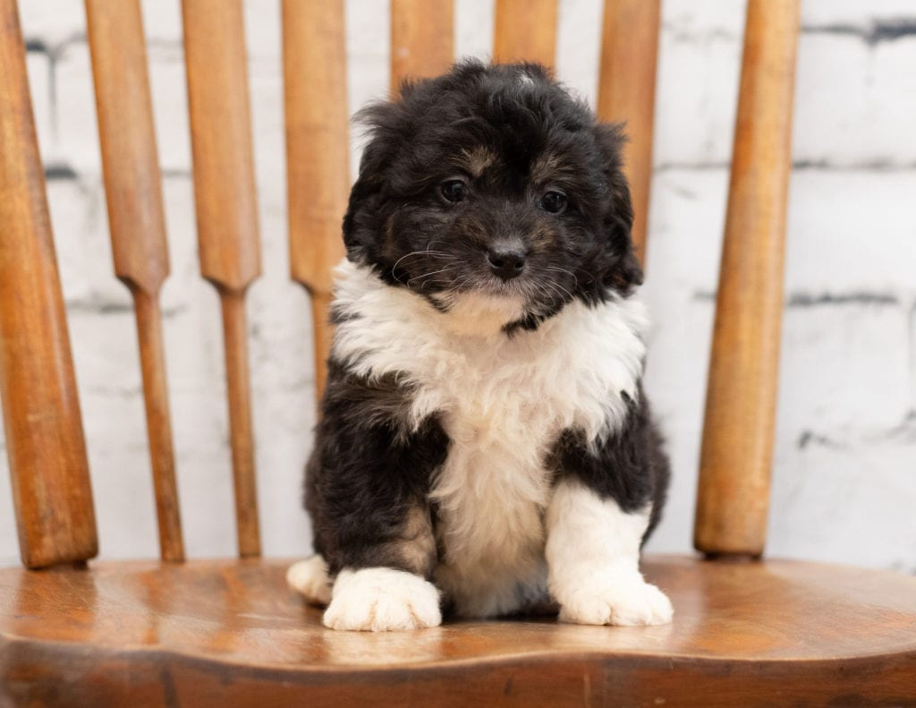 Pavor is an F1 Bernedoodle that should have  and is currently living in Minnesota