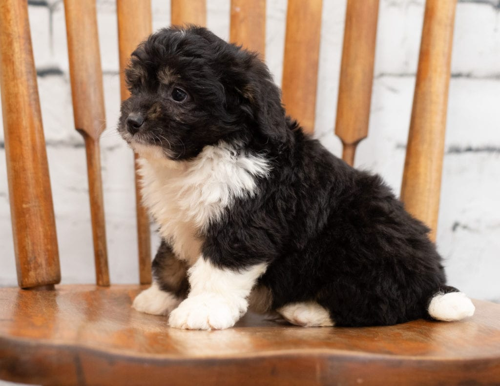 Pavor came from Tori and Pavor's litter of F1 Bernedoodles
