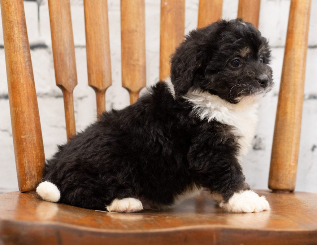 A picture of a Pavor, one of our Mini Bernedoodles puppies that went to their home in Minnesota