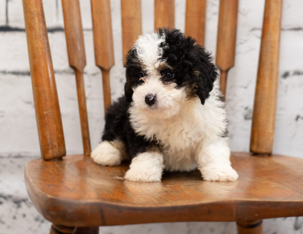 Pello is an F1 Bernedoodle.
