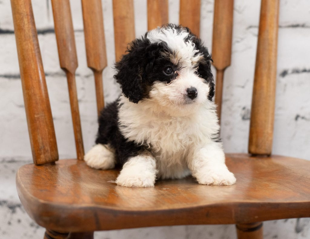 Pello came from Tori and Pello's litter of F1 Bernedoodles